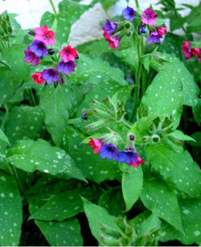 Extract Plămânărică (Pulmonaria officinalis)
