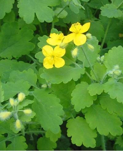 Extract Rostopască (Chelidonium majus)